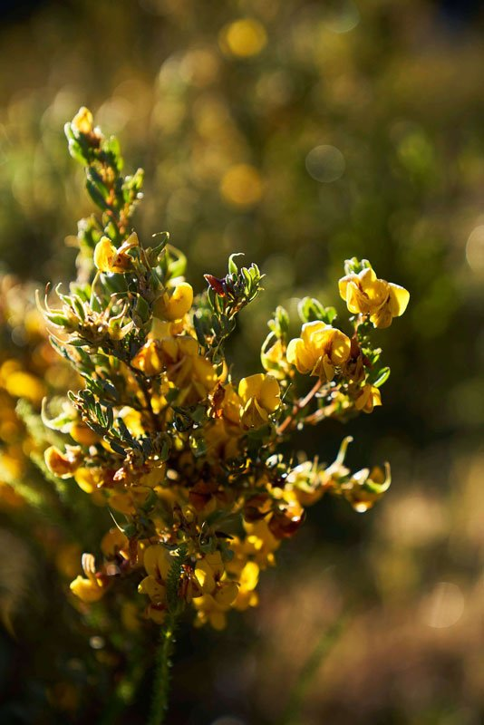 Honeybush in Langkloof