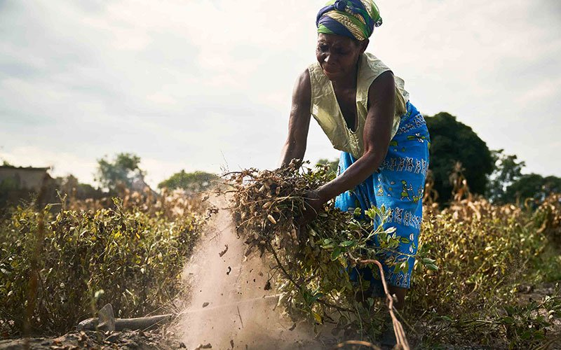 Zambia harvesting