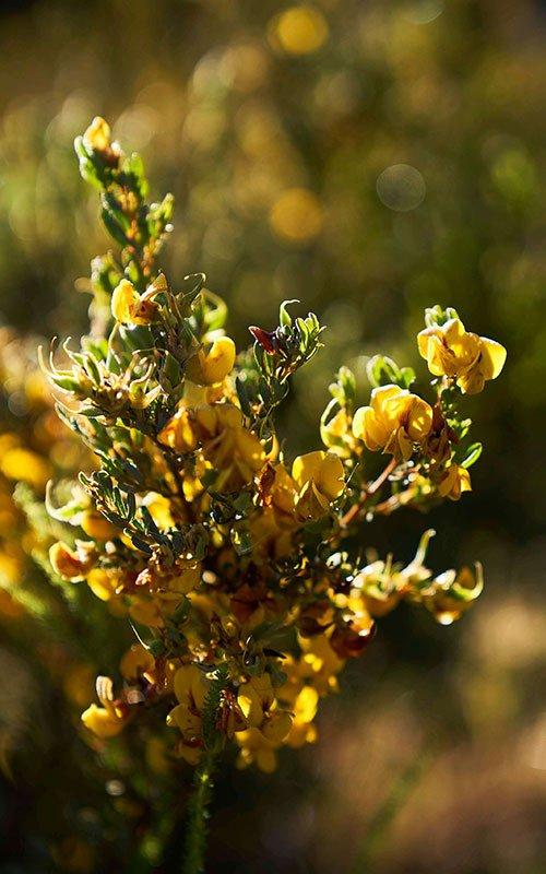 Honeybush in Langkloof