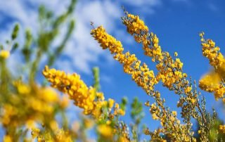 What is so great about Honeybush?