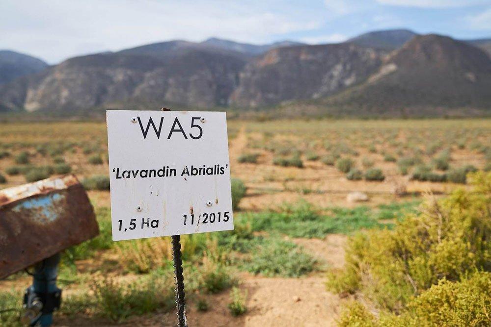Newly established field of lavandin abrialis in Baviaanskloof