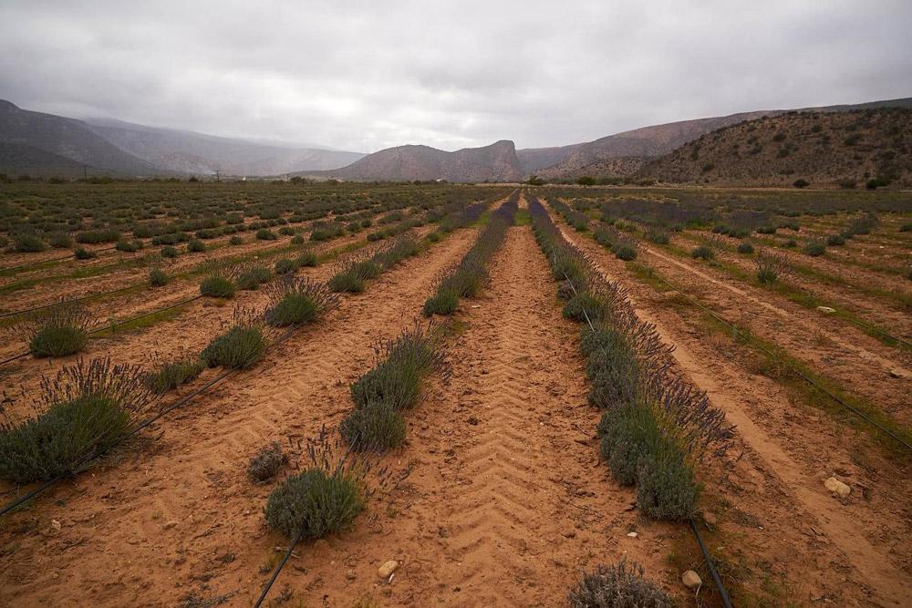 Fields of lavandin
