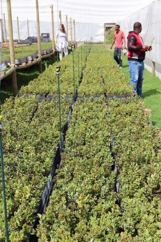 Honeybush nursery