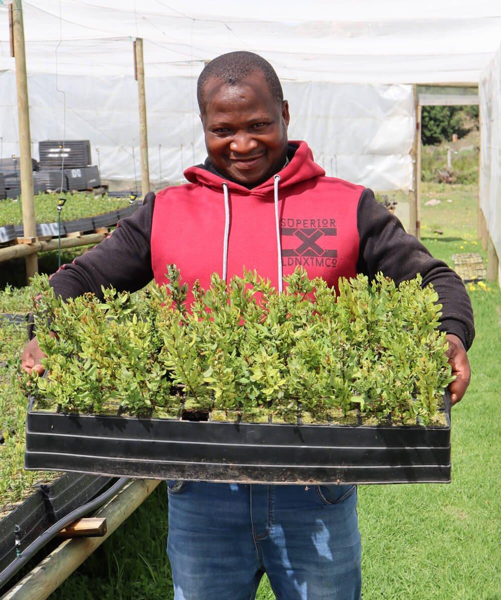 Honeybush seedlings