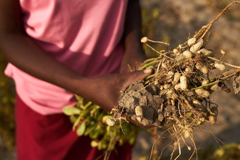 Someone holding uprooted groundnuts