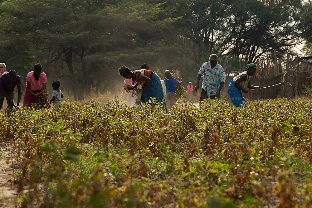 A group of people working on their crops.