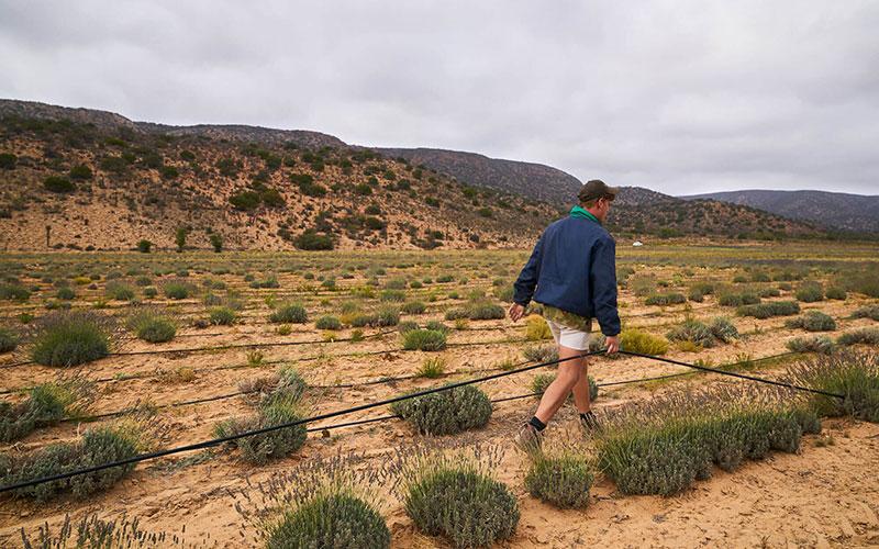 Farmer walking through rosemary crops.