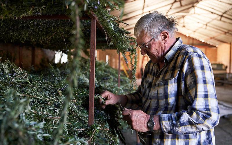 Older man looking at rosemary crop.