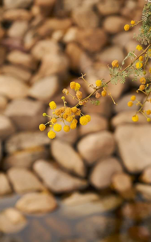 Close up of yellow flowers with rocks in the background.