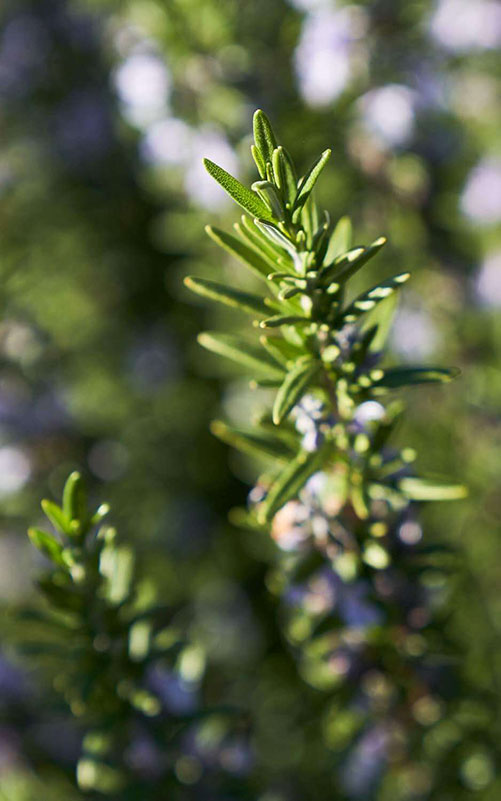 Close up of rosemary plant.