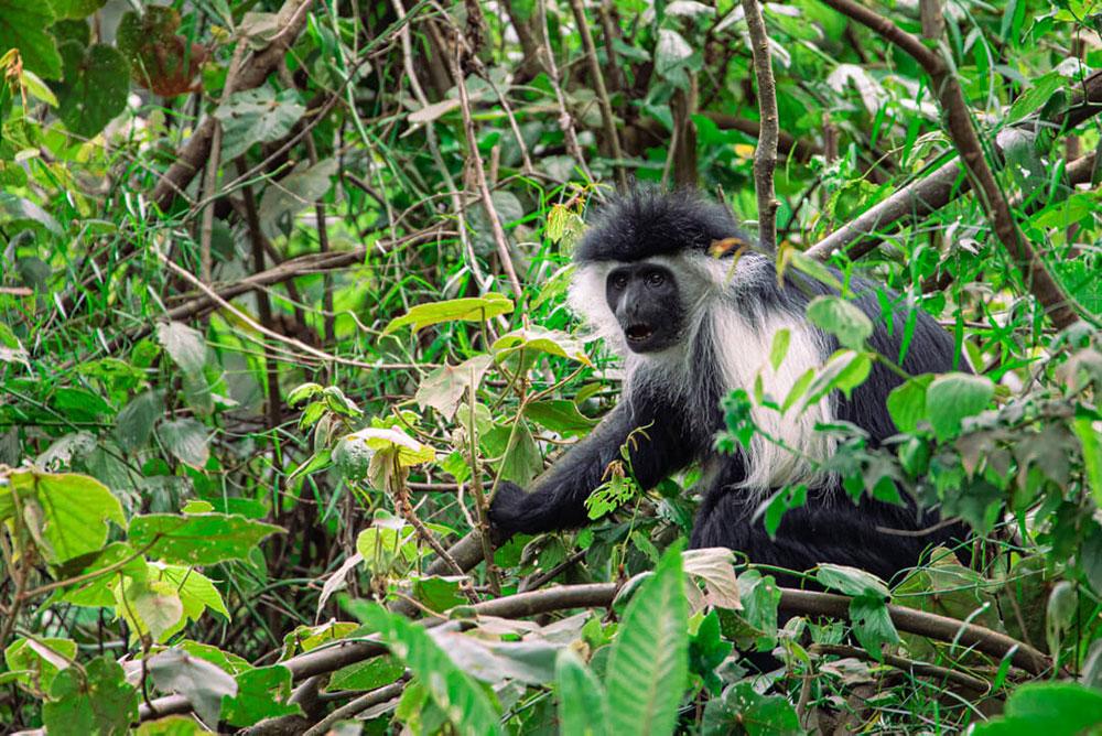 Tanzanian monkey in tree tops.