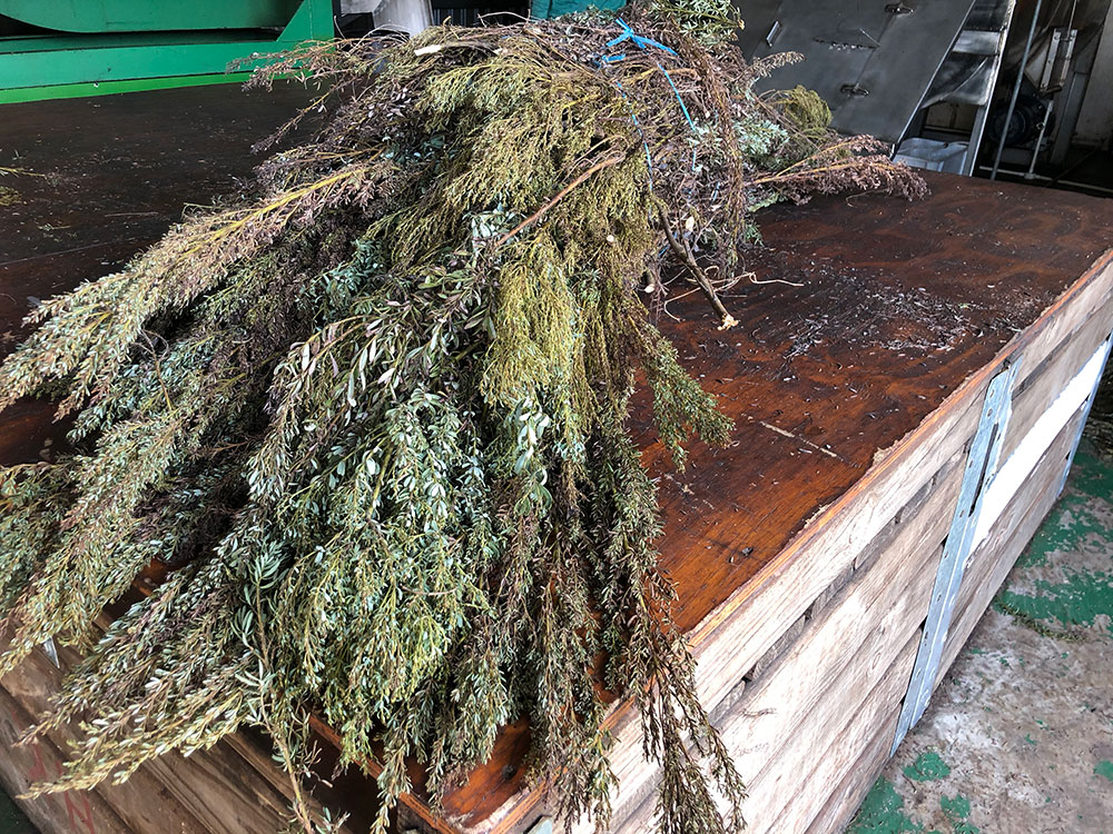 A bushel of Langkloof honeybush bound for processing.